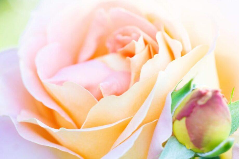 幻想的なバラ